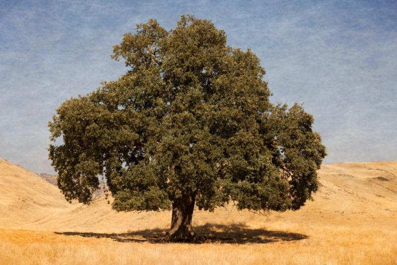 Large-Oak-40x30