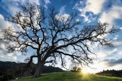 Sunset Oak 45x30
