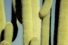 DAS-03 Saguaro Closeup 28x42
